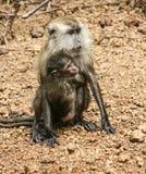 Πίθηκος στη Μαλαισία Στοκ Φωτογραφία