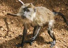 Πίθηκος στη Μαλαισία Στοκ φωτογραφία με δικαίωμα ελεύθερης χρήσης