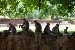 Πίθηκος στη Σρι Λάνκα Στοκ Φωτογραφία