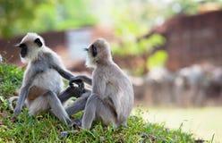 Πίθηκος στη Σρι Λάνκα Στοκ φωτογραφία με δικαίωμα ελεύθερης χρήσης