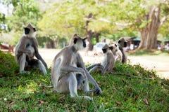 Πίθηκος στη Σρι Λάνκα Στοκ Εικόνα