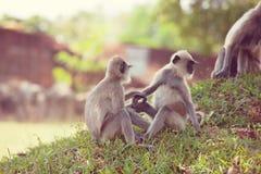 Πίθηκος στη Σρι Λάνκα Στοκ Φωτογραφίες