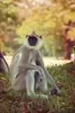 Πίθηκος στη Σρι Λάνκα Στοκ εικόνες με δικαίωμα ελεύθερης χρήσης