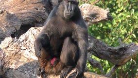 Πίθηκος στη φύση στο ζωολογικό κήπο φιλμ μικρού μήκους