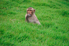 Πίθηκος στη χλόη στοκ φωτογραφία