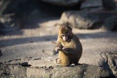 Πίθηκος στον ήλιο Στοκ Εικόνα