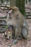 Πίθηκος στο δάσος Στοκ εικόνα με δικαίωμα ελεύθερης χρήσης
