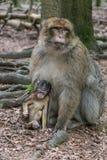 Πίθηκος στο δάσος Στοκ Φωτογραφία