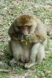 Πίθηκος στο δάσος Στοκ φωτογραφίες με δικαίωμα ελεύθερης χρήσης