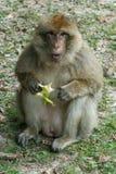 Πίθηκος στο δάσος Στοκ Εικόνες