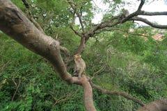 Πίθηκος στο δέντρο Στοκ εικόνες με δικαίωμα ελεύθερης χρήσης