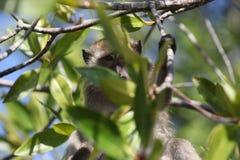 Πίθηκος στο δέντρο στοκ εικόνα με δικαίωμα ελεύθερης χρήσης