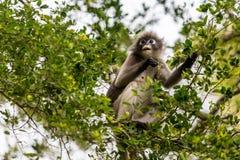 Πίθηκος στο δέντρο Στοκ Φωτογραφία