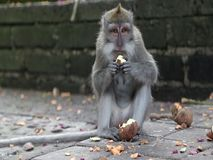 Πίθηκος στο δάσος στο ubud φιλμ μικρού μήκους