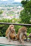 Πίθηκος στο Κατμαντού. Νεπάλ Στοκ Φωτογραφίες
