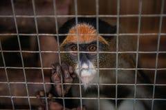 Πίθηκος στο κλουβί στοκ εικόνες με δικαίωμα ελεύθερης χρήσης