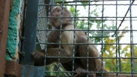 Πίθηκος στο κλουβί ζωολογικών κήπων φιλμ μικρού μήκους