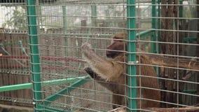 Πίθηκος στο κλουβί του ζωολογικού κήπου απόθεμα βίντεο