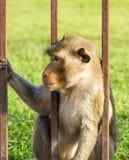 Πίθηκος στο κλουβί Στοκ φωτογραφίες με δικαίωμα ελεύθερης χρήσης