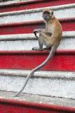 Πίθηκος στο κόκκινο λευκό βημάτων Στοκ φωτογραφίες με δικαίωμα ελεύθερης χρήσης