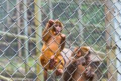 Πίθηκος στο κλουβί στο ζωολογικό κήπο Στοκ εικόνες με δικαίωμα ελεύθερης χρήσης