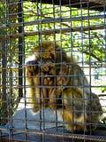Πίθηκος στο κλουβί στο ζωολογικό κήπο Στοκ Φωτογραφίες