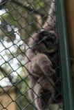 Πίθηκος στο κλουβί στο πάρκο ζωολογικών κήπων του Μπαλί, Ινδονησία Στοκ φωτογραφία με δικαίωμα ελεύθερης χρήσης