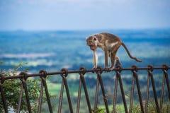 Πίθηκος στο μεταλλικό φράκτη σε Sigiriya, Σρι Λάνκα Στοκ Φωτογραφίες
