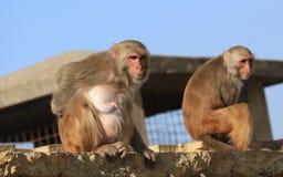 Πίθηκος στο Νεπάλ Στοκ Φωτογραφία