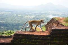 Πίθηκος στο φρούριο βράχου Sigiriya, Σρι Λάνκα Στοκ εικόνα με δικαίωμα ελεύθερης χρήσης