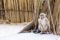 πίθηκος Ταϊλάνδη Στοκ Εικόνες