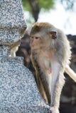 πίθηκος Ταϊλάνδη Στοκ Εικόνα