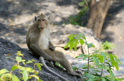 πίθηκος Ταϊλάνδη Στοκ φωτογραφία με δικαίωμα ελεύθερης χρήσης