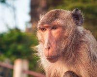 Πίθηκος, Ταϊλάνδη Στοκ εικόνες με δικαίωμα ελεύθερης χρήσης