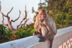 Πίθηκος, Ταϊλάνδη Στοκ Εικόνες