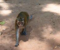 Πίθηκος της Καμπότζης Στοκ εικόνες με δικαίωμα ελεύθερης χρήσης