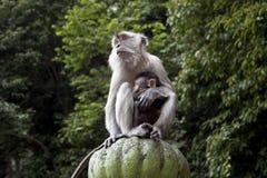 πίθηκος της Μαλαισίας μω&r Στοκ εικόνες με δικαίωμα ελεύθερης χρήσης