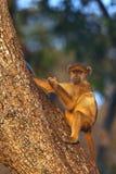 πίθηκος της Μποτσουάνα vervet Στοκ Εικόνες