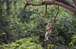 Πίθηκος της Ταϊλάνδης που αναρριχείται στους κλάδους δέντρων Στοκ φωτογραφίες με δικαίωμα ελεύθερης χρήσης