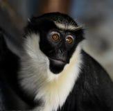 Πίθηκος της Diana (Cercopithecus Diana) στοκ εικόνα με δικαίωμα ελεύθερης χρήσης