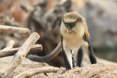 Πίθηκος της Mona Στοκ εικόνα με δικαίωμα ελεύθερης χρήσης