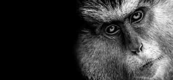 Πίθηκος της Mona Στοκ φωτογραφία με δικαίωμα ελεύθερης χρήσης