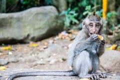 Πίθηκος του Μπαλί Στοκ φωτογραφίες με δικαίωμα ελεύθερης χρήσης