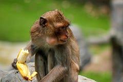 Πίθηκος του ρήσου μακάκου macaque ή mulatta Macaca Στοκ Εικόνες