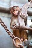 Πίθηκος του ρήσου μακάκου macaque σε Pashupatinath, κοιλάδα του Κατμαντού, Νεπάλ Στοκ εικόνα με δικαίωμα ελεύθερης χρήσης