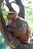 Πίθηκος του ρήσου μακάκου makaque Στοκ εικόνες με δικαίωμα ελεύθερης χρήσης