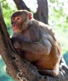 Πίθηκος του ρήσου μακάκου makaque Στοκ Φωτογραφίες