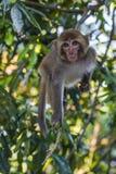 Πίθηκος του Ταϊνάν Στοκ Φωτογραφίες