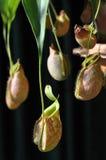 πίθηκος φλυτζανιών nepenthes Στοκ φωτογραφία με δικαίωμα ελεύθερης χρήσης