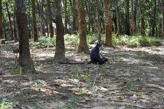 Πίθηκος φύλλων του Thomas Στοκ φωτογραφίες με δικαίωμα ελεύθερης χρήσης